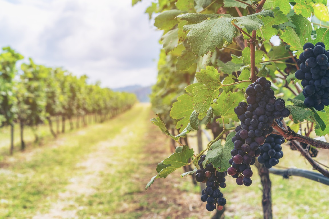 Una empresa gallega diseña algoritmos para detectar enfermedades en viñedos